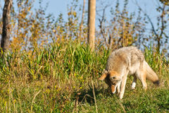 Wilder Kojote Stockfoto