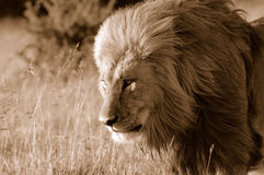 Wilder Löwe stockbilder