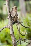 Wilder langschwänziger Affe Stockbild