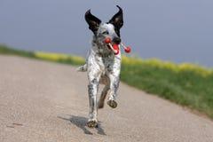 Wilder laufender Hund, der ein dogtoy anhält Lizenzfreie Stockbilder