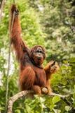 Wilder lebender erwachsener Mannorang-utan, der auf einer Niederlassung in Borneo, Malaysia sitzt Lizenzfreie Stockbilder