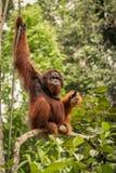 Wilder lebender erwachsener Mannorang-utan, der auf einer Niederlassung in Borneo, Malaysia sitzt Stockfoto