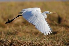 Wilder Lebenvogel Afrikas beim Start lizenzfreie stockfotos