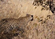 Wilder Leopard Stockfotos