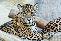 Wilder Leopard Lizenzfreie Stockfotografie