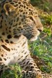 Wilder Leopard an Buxa-Wald lizenzfreie stockfotos