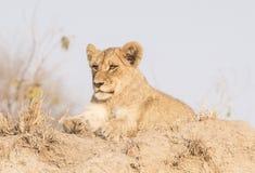 Wilder Lion Cub auf einem Sand-Hügel in Afrika Stockfoto