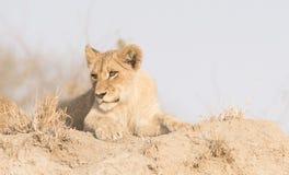 Wilder Lion Cub auf einem Sand-Hügel in Afrika Stockfotografie