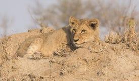 Wilder Lion Cub auf einem Sand-Hügel in Afrika Lizenzfreie Stockbilder