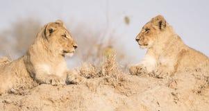 Wilder Lion Cub Brothers auf einem Sand-Hügel in Afrika Stockfotos