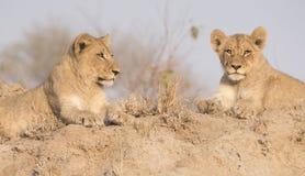 Wilder Lion Cub Brothers auf einem Sand-Hügel in Afrika Stockbild