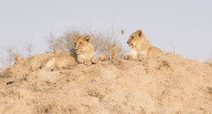 Wilder Lion Cub Brothers auf einem Sand-Hügel in Afrika Lizenzfreie Stockfotos