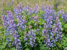 Wilder Lupine-Blumen Stockfotos