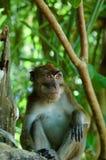 Wilder Macacaaffe im tropischen Wald Lizenzfreie Stockbilder