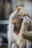 Wilder Macaque-Fallhammer Lizenzfreie Stockfotografie