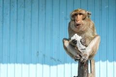 Kühler Affe Stockfotografie