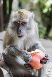 Wilder Makaken-Affe mit Apple Stockfotos