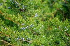 Wilder medizinischer Wacholderbusch im Wald stockfoto