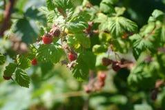 Wilder Montana Raspberries Lizenzfreies Stockbild