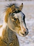 Wilder Mustang-Colt Stockfotos