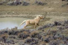 Wilder Mustang (Equus caballus) stockbild