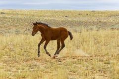 Wilder Mustang-neugeborenes Fohlen Stockfotografie