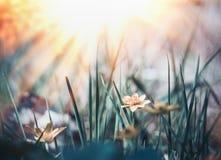 Wilder Naturhintergrund mit Gras, Blumen und Sonne Stockbild