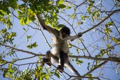 Wilder netter Affe, der in den Bäumen an einem Sommertag spielt Stockfotos