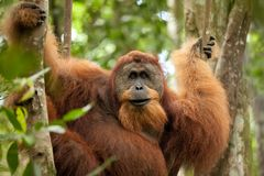 Wilder Orang-Utan Lizenzfreie Stockfotografie