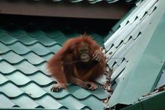 Wilder Orang-Utan SAT auf dem Dach, das einen Stock kaut Lizenzfreie Stockfotografie