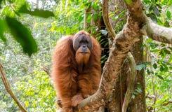 Wilder Orang-Utan Sumatran in Nord-Sumatra, Indonesien Lizenzfreie Stockfotos
