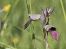 Wilder Orchidee serapias Lingua Lizenzfreies Stockfoto