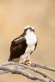 Wilder Osprey mit Fischen in den Talons Lizenzfreies Stockfoto
