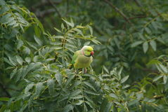 Wilder Papagei Lizenzfreies Stockfoto