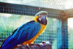 Wilder Papageienvogel, gold-blauer Papagei Keilschwanzsittich, Aronstäbe ambigua Stockfoto