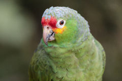 Wilder Parakeet stockbilder
