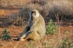 Wilder Pavianaffe in Afrika Stockfotos