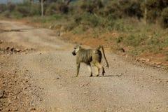 Wilder Pavianaffe in Afrika-Weg auf unparved Straße Lizenzfreie Stockbilder