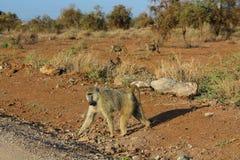 Wilder Pavianaffe in Afrika-Weg auf unparved Straße Stockfoto