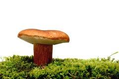 Wilder Pilz über Weiß stockfotos