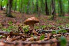 Wilder Pilz tief innerhalb des Waldes lizenzfreies stockfoto