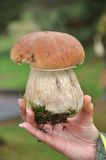 Wilder Porcini Pilz Stockfotos