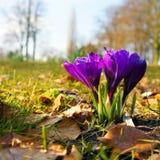 Wilder purpurroter Krokus im Park Lizenzfreie Stockfotografie