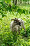 Wilder Ram in Bush Lizenzfreies Stockfoto