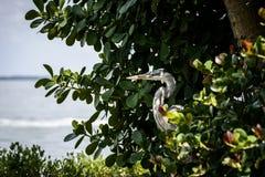 Wilder Reiher Leben Captiva-Insel-Florida-Westküste Lizenzfreies Stockbild