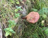 Wilder Reishi-Pilz, Ganoderma Lucidum von Altai Stockbild