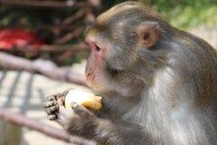 Wilder Rhesusfaktor-Makaken-Affe, der Apfel isst Lizenzfreies Stockbild