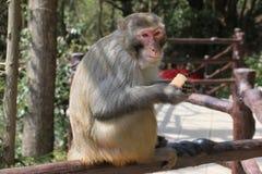 Wilder Rhesusfaktor-Makaken-Affe, der Apfel isst Lizenzfreie Stockfotografie