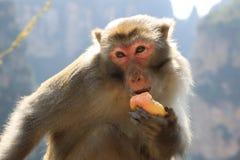 Wilder Rhesusfaktor-Makaken-Affe, der Apfel isst Stockfotografie