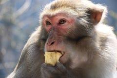 Wilder Rhesusfaktor-Makaken-Affe, der Apfel isst Lizenzfreie Stockbilder